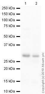 Western blot - Calbindin antibody [AF2E5] (ab75524)