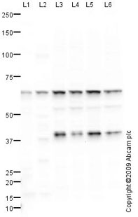 Western blot - CABLES1 antibody (ab75535)