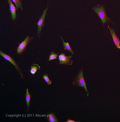 Immunocytochemistry/ Immunofluorescence - Anti-Neurotensin Receptor 1 antibody (ab75555)