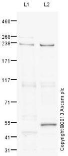 Western blot - Myh14 antibody (ab75589)