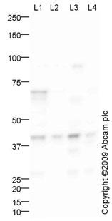 Western blot - GNAQ antibody (ab75825)