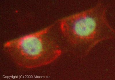Immunocytochemistry/ Immunofluorescence - Brd4 antibody (ab75898)