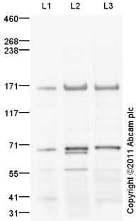 Western blot - Anti-Brd4 antibody (ab75898)
