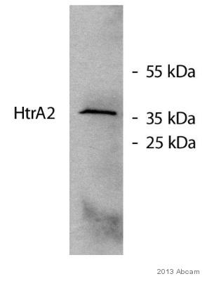 - Anti-HtrA2 / Omi antibody [EPR22] (ab75982)