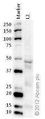 Western blot - Anti-ERK1 (phospho T202 + Y204) + ERK2 (phospho T185 + Y187) antibody (ab76165)
