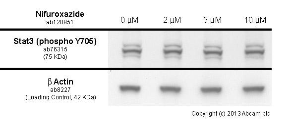 Western blot - Anti-STAT3 (phospho Y705) antibody [EP2147Y] (ab76315)