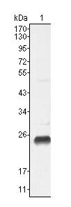 Western blot - Lin28 antibody [6D1F9] (ab76369)
