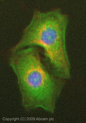 Immunocytochemistry/ Immunofluorescence - Apolipoprotein M antibody (ab76458)