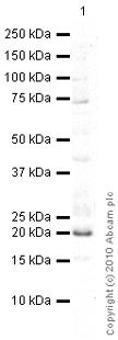 Western blot - CLEC2D antibody (ab76529)