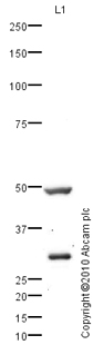 Western blot - AGPAT6 antibody (ab76707)