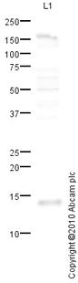 Western blot - liver FABP antibody (ab76812)