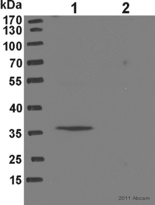 Western blot - FLJ37478 antibody (ab76842)