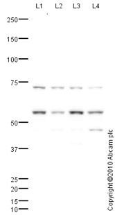 Western blot - HIP55 antibody (ab77147)