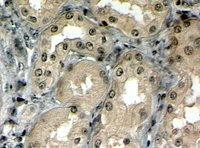 Immunohistochemistry (Formalin/PFA-fixed paraffin-embedded sections) - MRP5 antibody (ab77369)