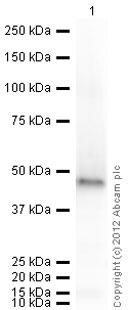 Western blot - Anti-Doublecortin antibody - Neuronal Marker (ab77450)