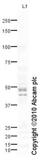 Western blot - IL17B Receptor antibody (ab77524)