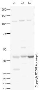 Western blot - MURF1 antibody (ab77577)
