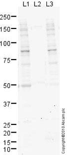 Western blot - Anti-Mre11 (phospho S678) antibody (ab77631)