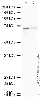 Western blot - KCNQ1 antibody - Carboxyterminal end (ab77701)