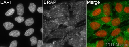 Immunocytochemistry/ Immunofluorescence - Anti-BRAP antibody (ab77721)
