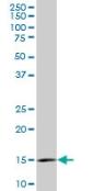 Western blot - RPL36A antibody (ab77733)