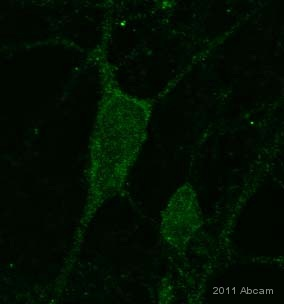 Immunocytochemistry/ Immunofluorescence - Anti-PURA antibody (ab77734)