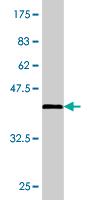 Western blot - PURA antibody (ab77734)