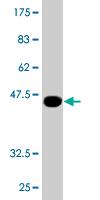 Western blot - ARL8A antibody (ab77790)