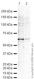 Western blot - SAP62 antibody [4G8] (ab77800)