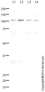Western blot - NLRC3 antibody (ab77817)
