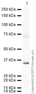 Western blot - Lactate Dehydrogenase Isoenzyme V protein (Active) (ab77945)