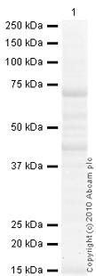 Western blot - NOX1 antibody (ab78016)