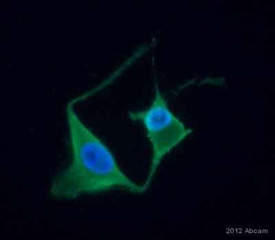 Immunocytochemistry/ Immunofluorescence - Anti-RPE65 antibody [401.8B11.3D9] - Azide free (ab78036)