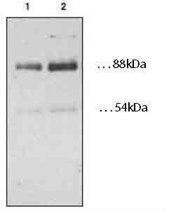 Western blot - CD36 antibody (ab78054)