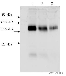 Western blot - Surfactant Protein A antibody (ab78173)