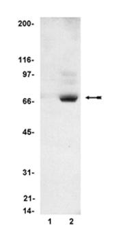 Western blot - S6K (phospho T412) antibody (ab78413)
