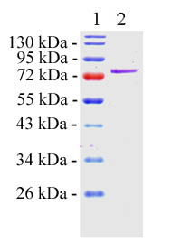 SDS-PAGE - GRP78 BiP protein (Active) (ab78432)