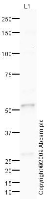 Western blot - Carboxypeptidase B2  antibody (ab78445)