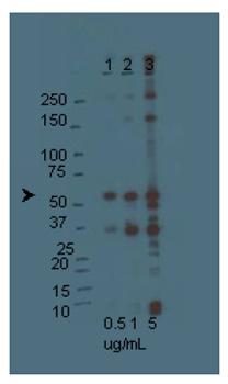 Western blot - Orai1 antibody (ab78471)