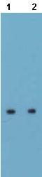 Western blot - Aquaporin 5 antibody (ab78486)