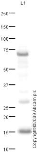Western blot - TOMM20 antibody (ab78547)
