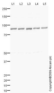Western blot - Hsp90 beta antibody (ab78621)