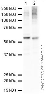 Western blot - Anti-GSK3 alpha antibody (ab78664)