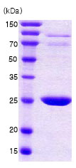 SDS-PAGE - 14-3-3 beta protein (Human) (ab78683)