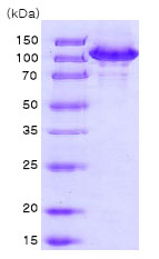 SDS-PAGE - Hsp105 protein (His tag) (ab78790)