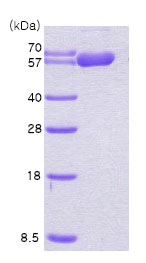 SDS-PAGE - Hsp60 protein (His tag) (ab78792)