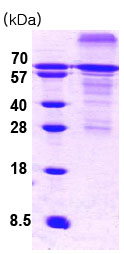 SDS-PAGE - HSF1 protein (His tag) (ab78795)
