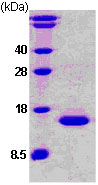 SDS-PAGE - Stefin B protein (His tag) (ab78799)