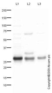 Western blot - Hsp27 antibody (ab78806)