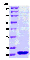 SDS-PAGE - fur protein (ab78816)
